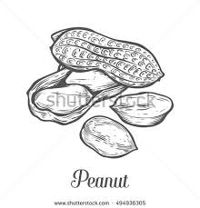groundnut stock images royalty free images u0026 vectors shutterstock