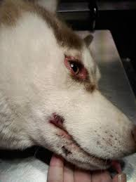 health issues with siberian huskies