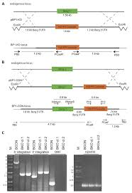 deletion of the rodent malaria ortholog for falcipain 1 highlights