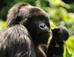 Gorilla by Mountain Gorilla Mission Critical Gallery Nat Geo Wild