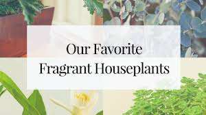 fragrant indoor plants the truth about fragrant indoor plants 10 that you can grow in your