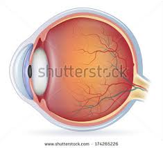 Photos Of Human Anatomy Human Eye Anatomy Stock Images Royalty Free Images U0026 Vectors