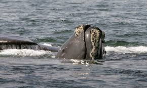 feds right whales should remain on endangered list the register
