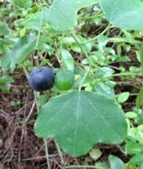 nc native plant society plants north carolina native plant society