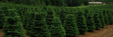 christmas tree farms in greater rochester ny kids out and about