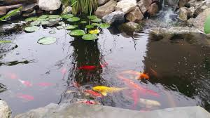 koi pond goldfish and catfish backyard waterfall youtube