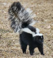 striped skunk san mateo county mosquito and vector control district