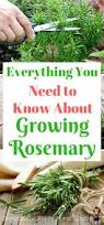 best 25 rosemary plant ideas on pinterest planting lavender