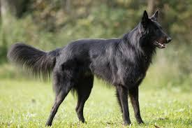 belgian sheepdog hypoallergenic black dog breeds with picture u0026 comprehensive breed profiles