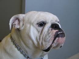 how to get dog to stop barking teach your dog to stop barking battle of the bulldogs