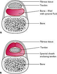 Tendon Synovial Sheath Muscular System Veterian Key