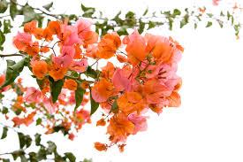 November Flowers File Buganvilla Flowers 3080661269 Jpg Wikimedia Commons