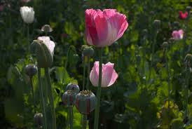 Opium by It U0027s Legal To Grow Your Own Opium As Long As You Don U0027t Know It