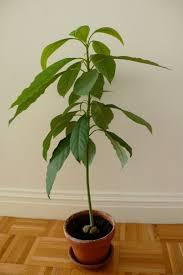 should i prune my avocado tree avocado tree gardens and plants