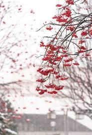 39 best the rowan tree images on rowan celtic tree