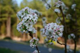 in praise of the cleveland pear an ornamental flowering pear tree
