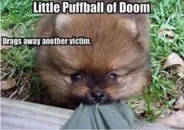 Pomeranian Meme - image pomeranian meme jpeg animal jam clans wiki fandom
