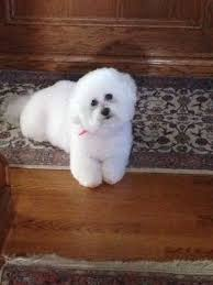 bichon frise therapy dog 335 best images about bichons on pinterest poodles puppys and