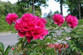peonies flowers growing peonies how to plant and grow the peony flower