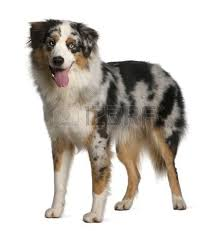 australian shepherd 9 months old dog standing images u0026 stock pictures royalty free dog standing