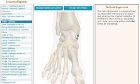 Talus Ligaments How Do Ankles Work With Bones Ligaments And 2014 Quora
