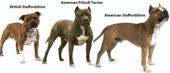 american pitbull terrier dog images dog attacks surge 76 in england in 10 years coinciding with