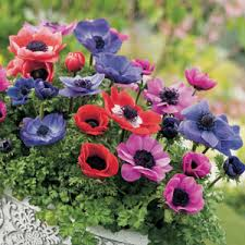 anemone plant anemone poppy mixed garden express