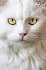 halloween background cat eyes 600x 600 best 25 long haired cats ideas only on pinterest long hair cat