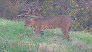 Rhode Island Wild Animals images Bobcat sightings reported in cranston wjar jpg