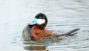 when male ducks compete their penises get bigger futurity