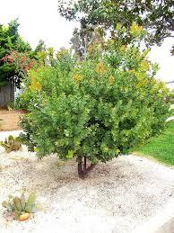 northern california native plants sunset manzanita shrub arctostaphylos native california plants