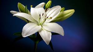 white lilly beautiful white flower hd wallpaper wallpapers13