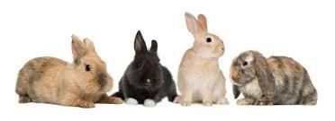 rabbit banner vetboss home the website for veterinary partners