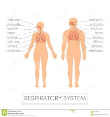 100 anatomy and physiology the respiratory system guide