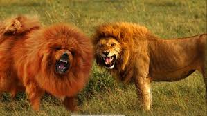 seven dogs that look like lions pethelpful