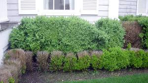 boxwood blight researchers looking outside of the box for solutions