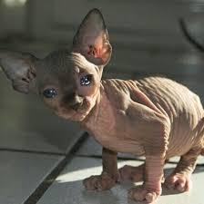 Hairless Cat Meme - the 25 best fat hairless cat ideas on pinterest spynx kitten