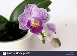 orchid flowers beautiful purple phalaenopsis tropical orchid flowers