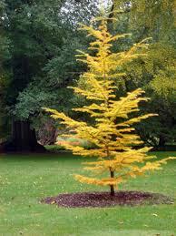 fall needle drop a phenomenon in conifers msu extension