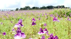 file flowers valley of kaas plateu satara india jpg wikimedia
