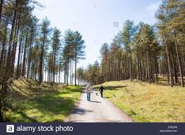 walk their dogs through the trees in pembrey country park