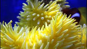 yellow anemone avi youtube