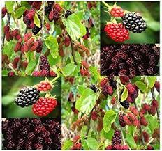 edible fruits 50 black mulberry fruit tree seeds morus nigra a