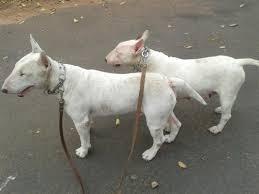voivodata bull terriers voivodata bullterriers