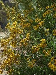 native san diego plants viguiera laciniata san diego sunflower
