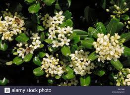 native japanese plants pittosporum tobira stock photos u0026 pittosporum tobira stock images