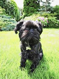 affenpinscher youtube 30 best small dog breeds list of top small dogs with pictures