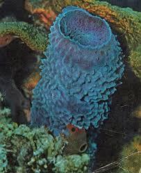 Strawberry Vase Sponge 10 Best Phylum Porifera Images On Pinterest Search Animals And