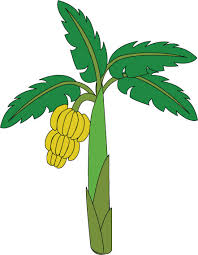 how to draw a banana tree or plantain tree step by step how to