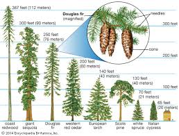 conifer plant britannica
